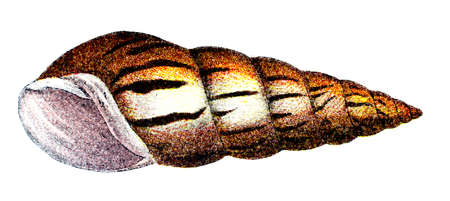 cone shell: 19th century engraving of a colourful sea snail