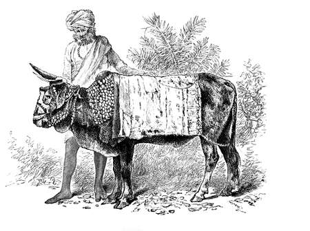 anthropology: Victorian engraving of a sacred ox, India. Digitally restored image from a mid-19th century Encyclopaedia.