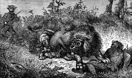 other keywords: Victorian engraving of a lion catching a game hunter Stock Photo