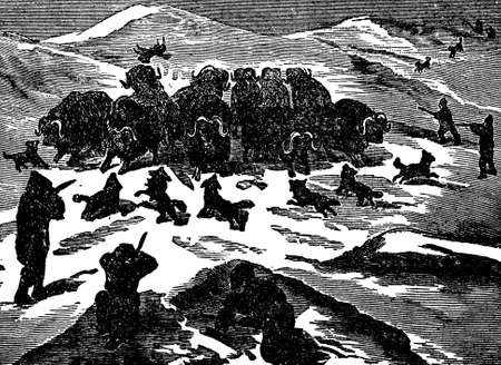 Victorian engraving of a musk-ox hunt Stock Photo