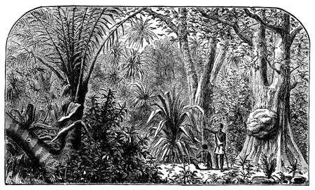 amazon rainforest: Victorian engraving of a Brazillian rain forest