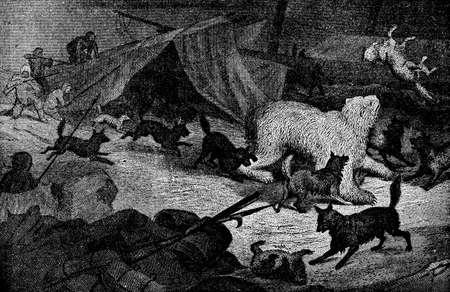 attacking: Victorian engraving of walrus attacking polar explorers