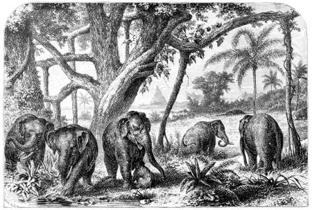 herd: Victorian engraving of a  herd of elephants. Digitally restored image from a mid-19th century Encyclopaedia.