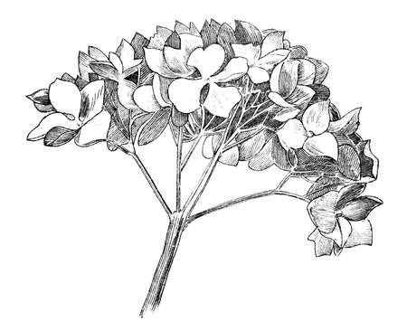 19th century engraving of a flower Фото со стока