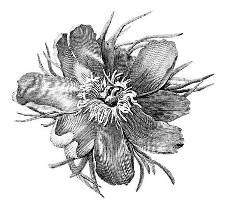 19th century engraving of a horse chestnut flower