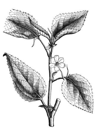 jews: 19th century engraving of a jews mallow plant Stock Photo