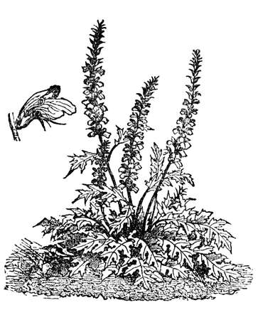 breeches: Victorian engraving of an acanthus flower, or bear Stock Photo