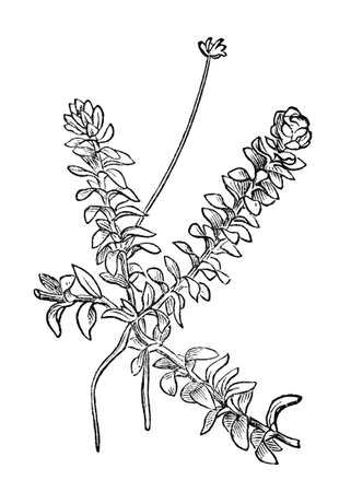 restored: Victorian engraving of an anacharis plant. Digitally restored image from a mid-19th century Encyclopaedia. Stock Photo