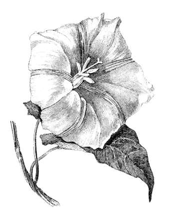 19th century engraving of a morning glory flower