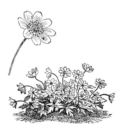Victorian engraving of an anemone plant. Digitally restored image from a mid-19th century Encyclopaedia.
