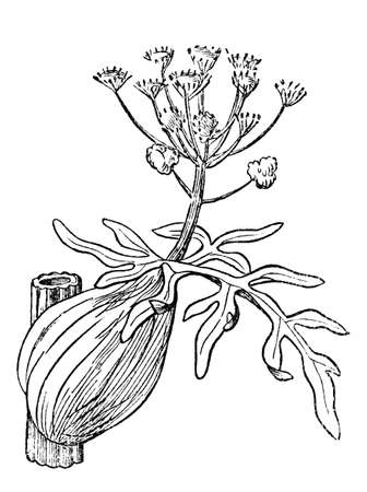 Victorian engraving of a narthex plant. Digitally restored image from a mid-19th century Encyclopaedia.