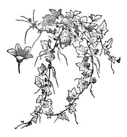 Victorian engraving of a bryonia, or bryony plant. Digitally restored image from a mid-19th century Encyclopaedia.