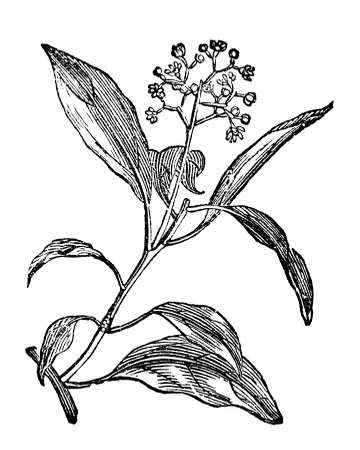 restored: Victorian engraving of a camphora plant. Digitally restored image from a mid-19th century Encyclopaedia.