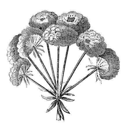 散形花序の花序の花のビクトリア朝の彫刻。デジタル中間第 19 世紀の百科事典からイメージを復元します。