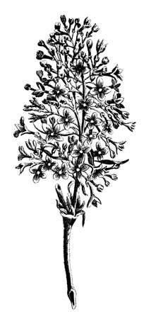Victorian engraving of a blooming wild flower stalk. Digitally restored image from a mid-19th century Encyclopaedia.
