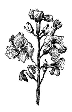 restored: Victorian engraving of a flower. Digitally restored image from a mid-19th century Encyclopaedia.