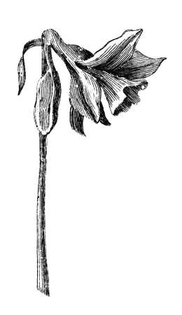 Victorian engraving of a daffodil, or narcissus. Digitally restored image from a mid-19th century Encyclopaedia. Zdjęcie Seryjne