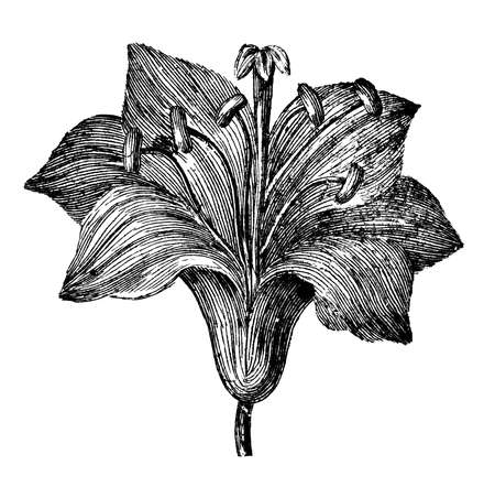 Victorian engraving of a stargazer lily. Digitally restored image from a mid-19th century Encyclopaedia.
