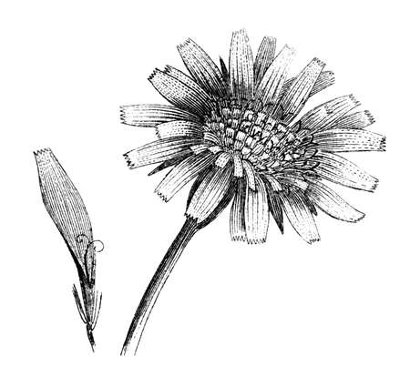 19th century engraving of a dandelion flower Stok Fotoğraf