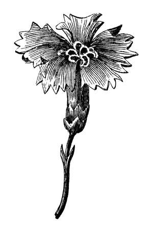 Victorian engraving of a blooming flower. Digitally restored image from a mid-19th century Encyclopaedia.