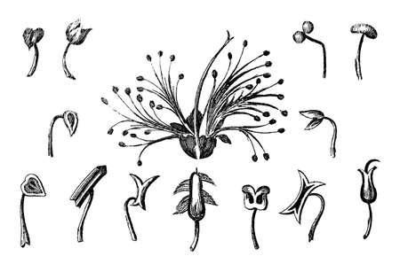 stamen: Victorian engraving of a collection of flower stamen and style. Digitally restored image from a mid-19th century Encyclopaedia.