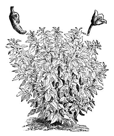 cayenne: Victorian engraving of a capiscum, or pepper plant. Digitally restored image from a mid-19th century Encyclopaedia. Stock Photo