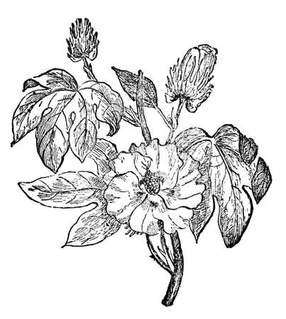 restored: Victorian engraving of a cotton plant. Digitally restored image from a mid-19th century Encyclopaedia.