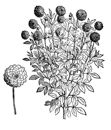 restored: Victorian engraving of a dahlia flower. Digitally restored image from a mid-19th century Encyclopaedia. Stock Photo