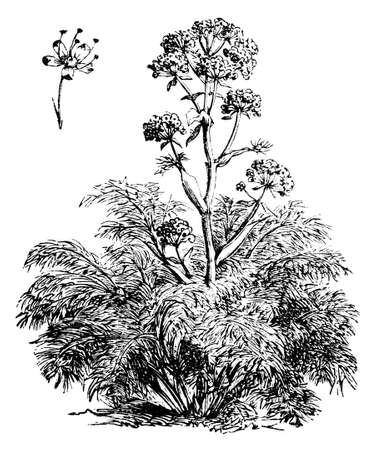 Victorian engraving of a fennel plant. Digitally restored image from a mid-19th century Encyclopaedia.