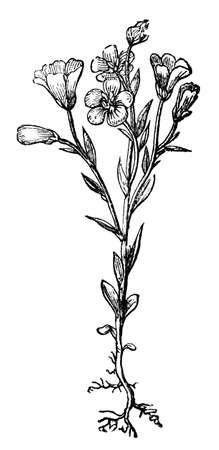restored: Victorian engraving of a flax plant. Digitally restored image from a mid-19th century Encyclopaedia.