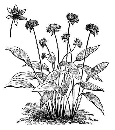 Victoriaanse gravure van een wilde knoflook of daslook Digitaal hersteld beeld van een midden van de 19e eeuw Encyclopedie.