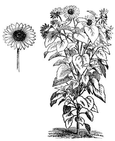 ヒマワリ、ヒマワリのビクトリア朝の彫刻。デジタル中間第 19 世紀の百科事典からイメージを復元します。 写真素材