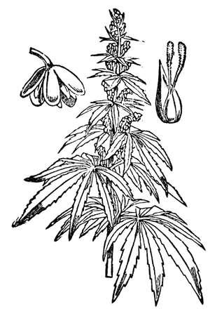 restored: Victorian engraving of a hemp plant. Digitally restored image from a mid-19th century Encyclopaedia. Stock Photo