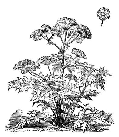 restored: Victorian engraving of a cow parsley plant. Digitally restored image from a mid-19th century Encyclopaedia. Stock Photo