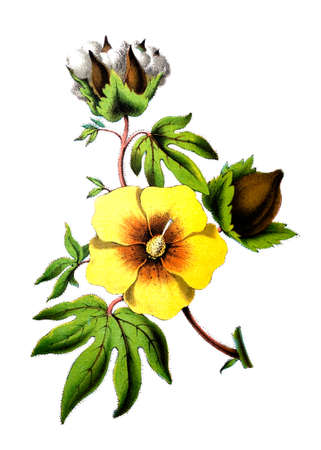 cotton flower: 19th century colour engraving of a cotton flower