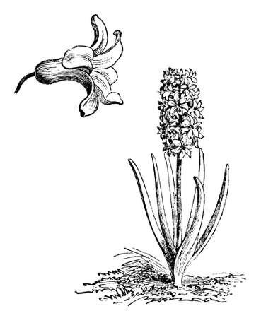 히아 킨 토스 꽃의 빅토리아 조각. 19 세기 중반 백과 사전에서 디지털 복원 된 이미지. 스톡 콘텐츠