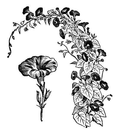 아침 영광 꽃의 빅토리아 조각. 디지털 중반 19 세기 백과 사전에서 이미지를 복원.