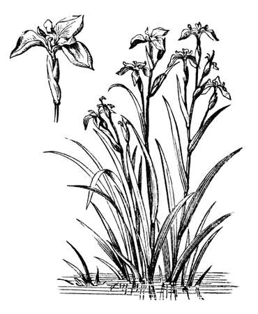 restored: Victorian engraving of an iris plant. Digitally restored image from a mid-19th century Encyclopaedia.