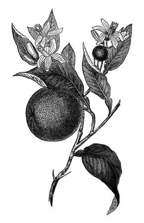 century plant: 19th century engraving of an orange plant