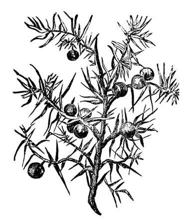 enebro: Grabado victoriana de una planta de enebro. Imagen digitalmente restaurada de una enciclopedia mediados del siglo 19.