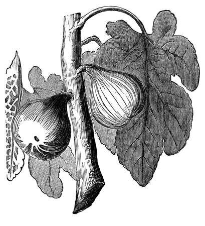 무화과 나무의 19 세기 식물 조각 스톡 콘텐츠