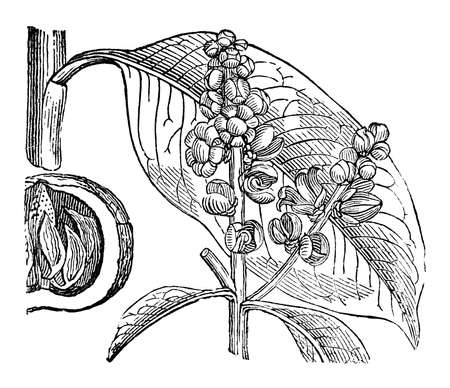Victorian engraving of a brazil nut branch. Digitally restored image from a mid-19th century Encyclopaedia.