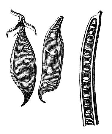 restored: Victorian engraving of wild pea pods. Digitally restored image from a mid-19th century Encyclopaedia. Stock Photo