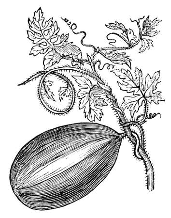 Victorian engraving of a gourd. Digitally restored image from a mid-19th century Encyclopaedia. Imagens