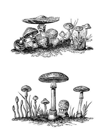 Victorian engraving of agaricus mushrooms. Digitally restored image from a mid-19th century Encyclopaedia.