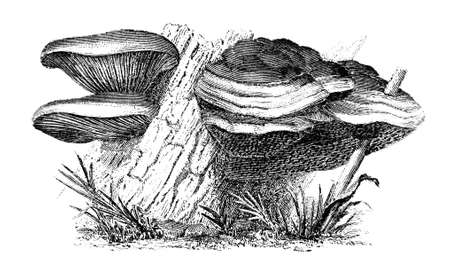 fungi: 19th century engraving of fungi Stock Photo