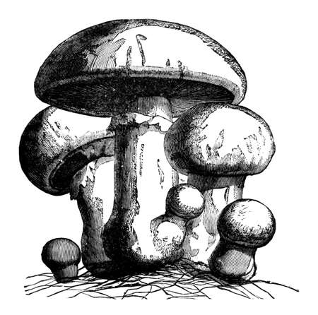 19th century engraving of mushrooms