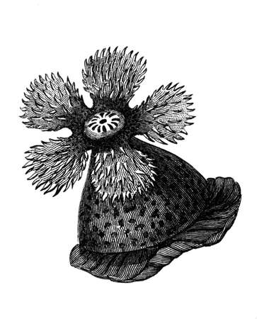 Victorian engraving of an anemone.  Digitally restored image from a mid-19th century Encyclopaedia.
