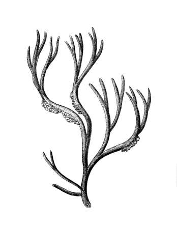 restored: Victorian engraving of an algae. Digitally restored image from a mid-19th century Encyclopaedia.
