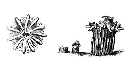 Victoriaanse gravure van een koraal. Digitaal hersteld beeld van een midden van de 19e eeuw Encyclopedie.